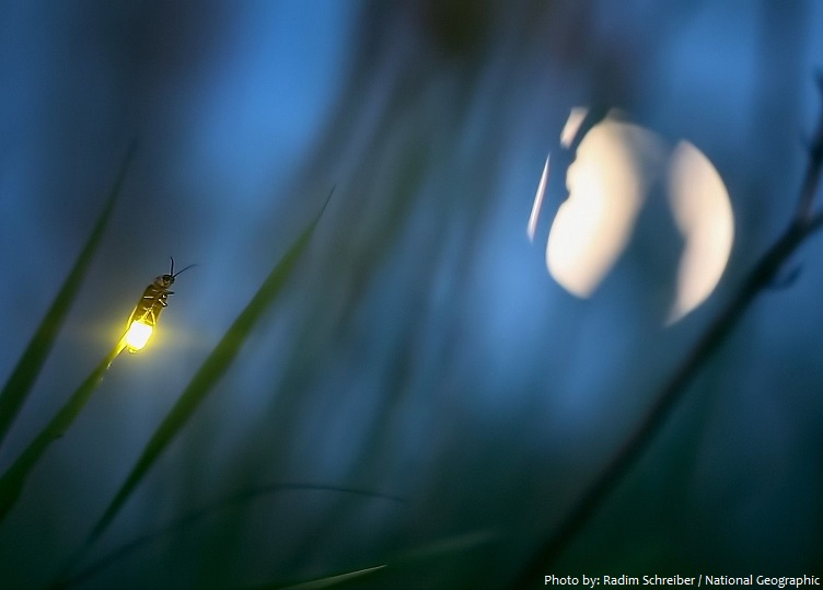 firefly-3