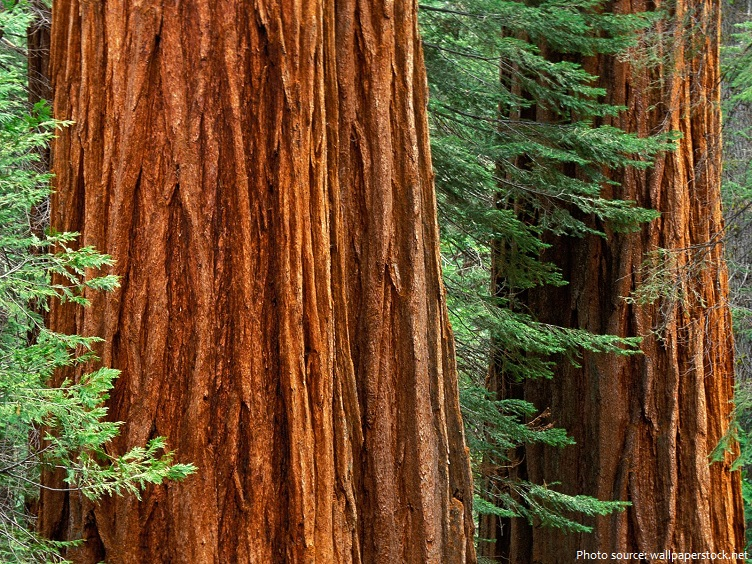 giant sequoia bark