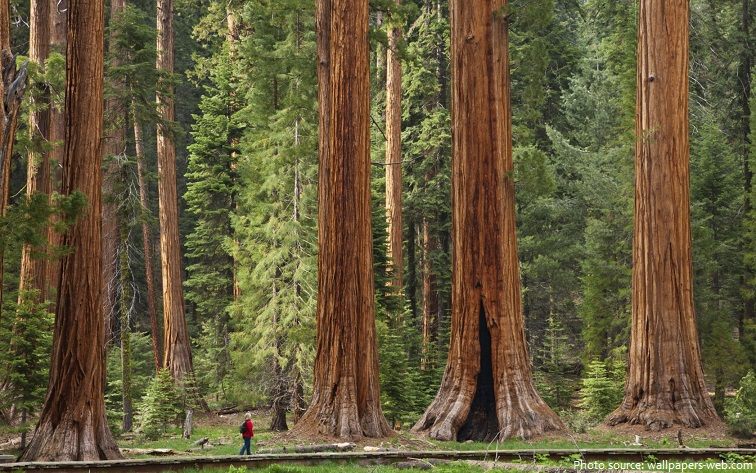 giant-sequoias-2