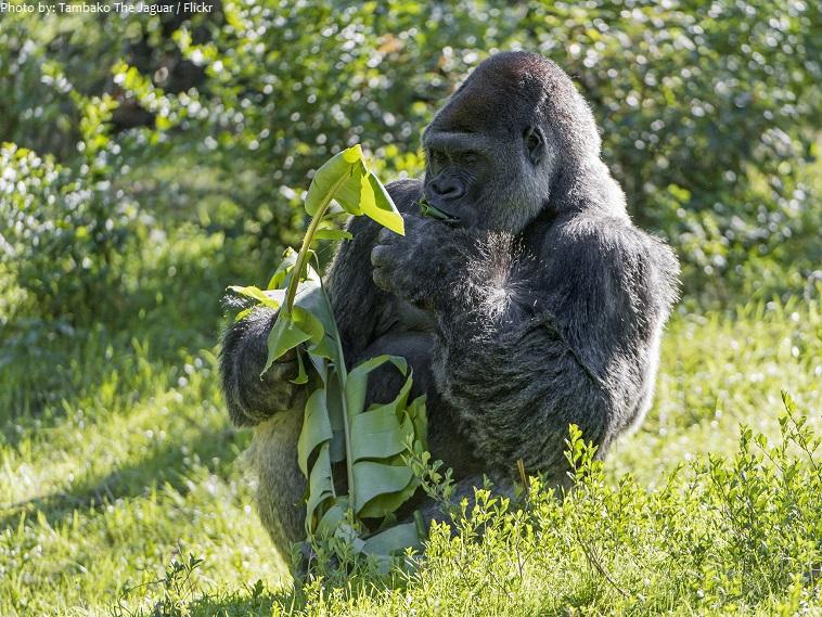 gorila eating
