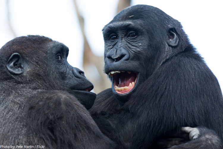 gorillas communication