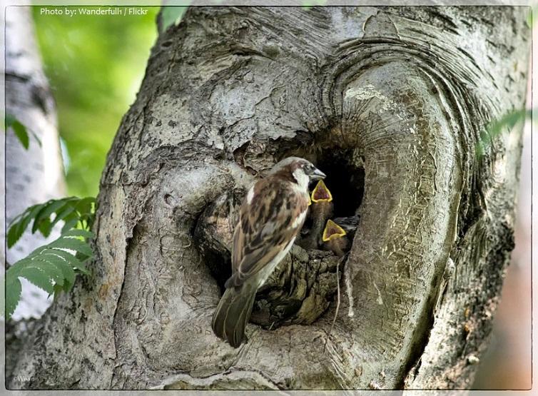 house sparrow chicks