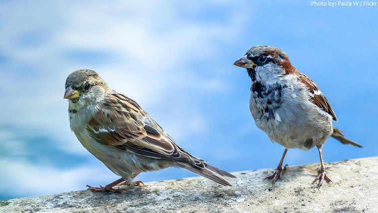 house sparrow male and female
