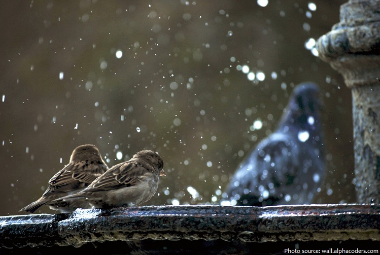 house-sparrows-2