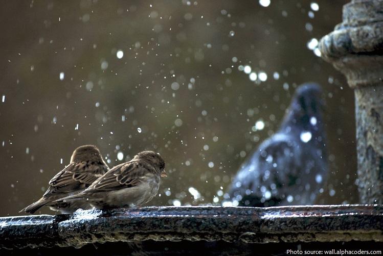 house-sparrows-2