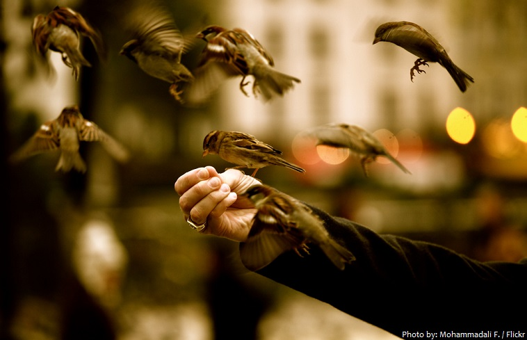house sparrows eating from hand