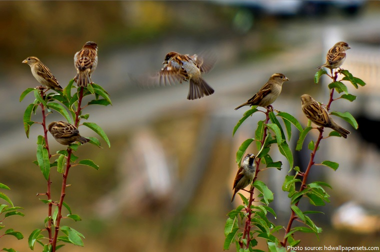 Interesting facts about house sparrows