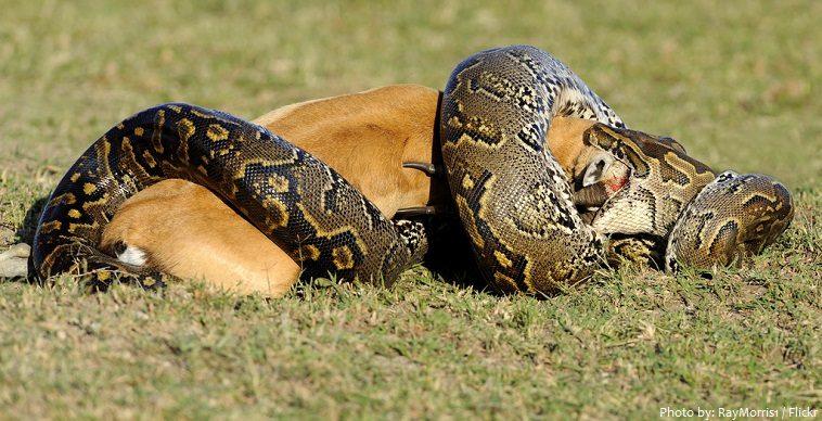 python and prey