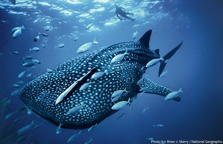 whale-shark-3