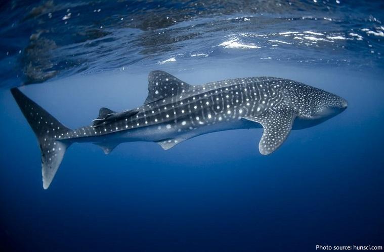 whale-shark-4
