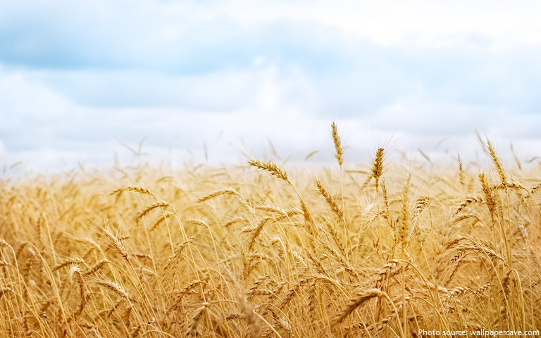 interesting facts about wheat just fun facts