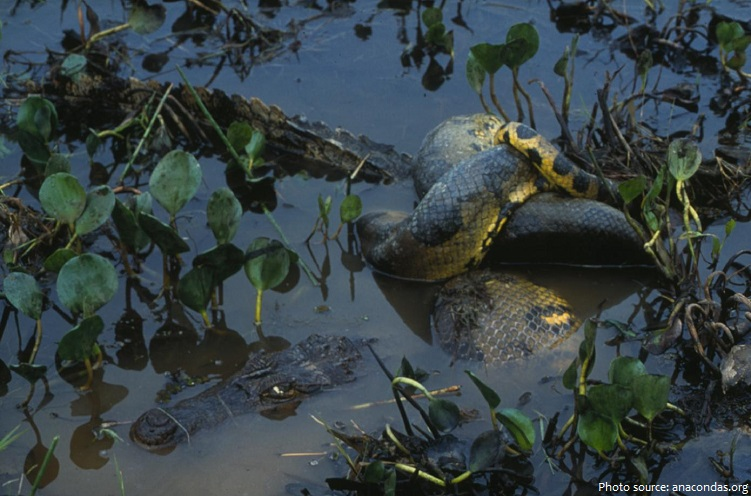 anaconda and prey