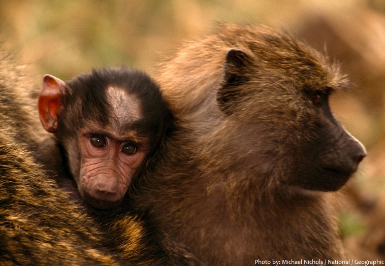 baboons baby