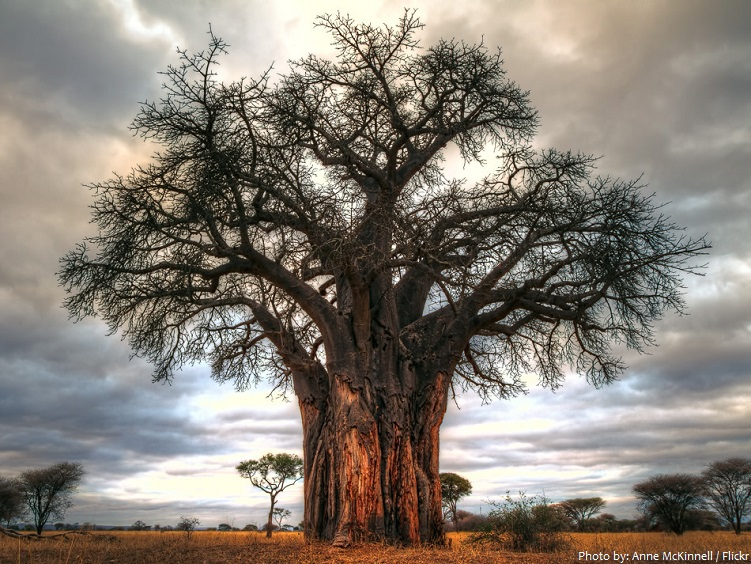 baobab-tree-2