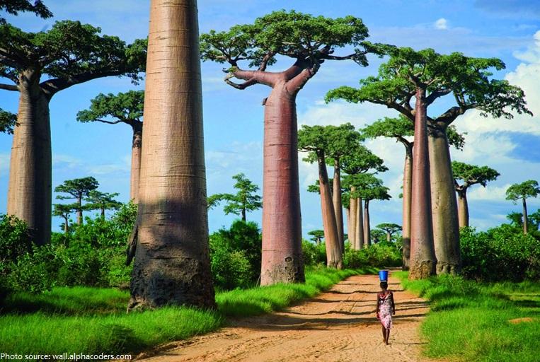 baobab-trees-2