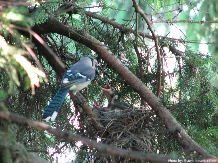blue jay chicks
