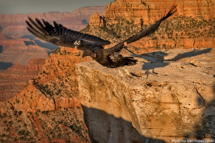 grand canyon national park bird