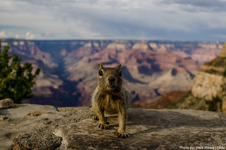 grand canyon national park squirrel