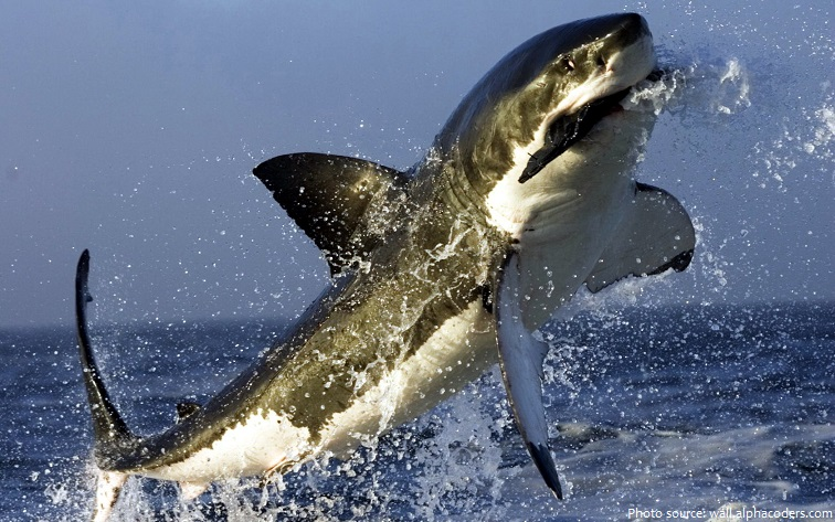 great white shark catching prey