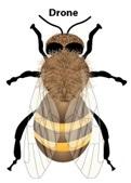 honey-bee-drone-1