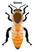 honey-bee-queen-1
