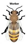 honey-bee-worker-1
