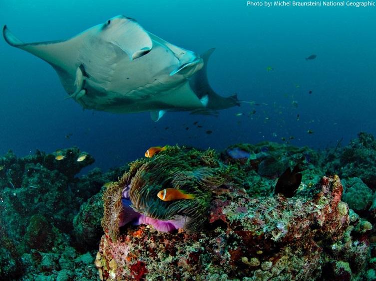 manta ray coral reef