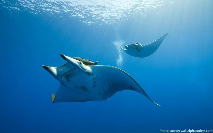 manta-rays-2