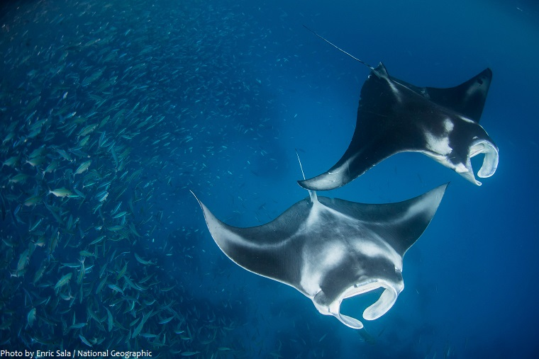 manta-rays-4