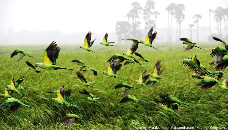 parrots flock