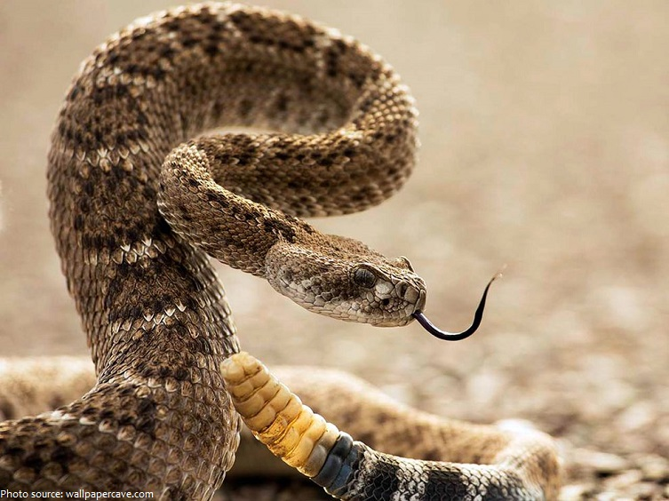 Interesting facts about rattlesnakes | Just Fun Facts