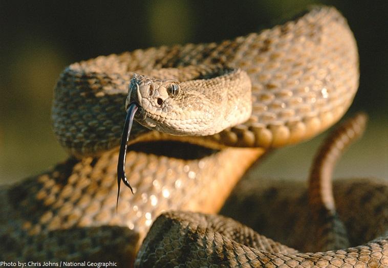 rattlesnake-4