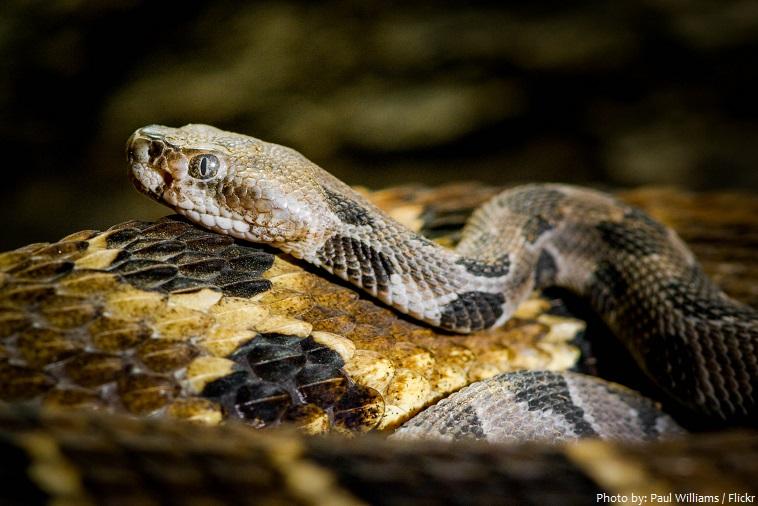 rattlesnake baby