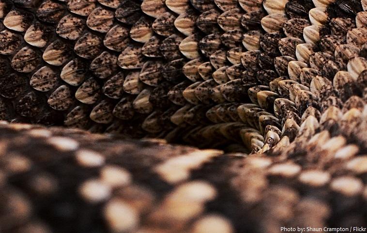 rattlesnake scale