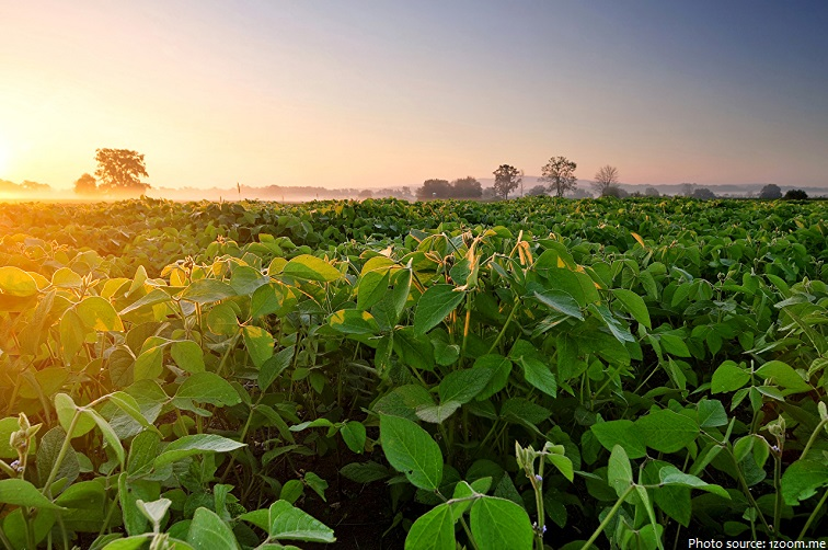 soybeans plants
