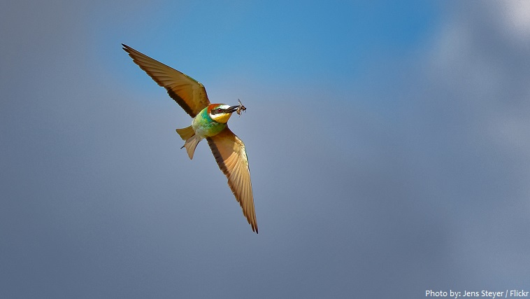 bee-eater wasp