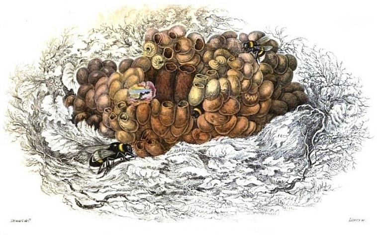 bumblebee-nest-2