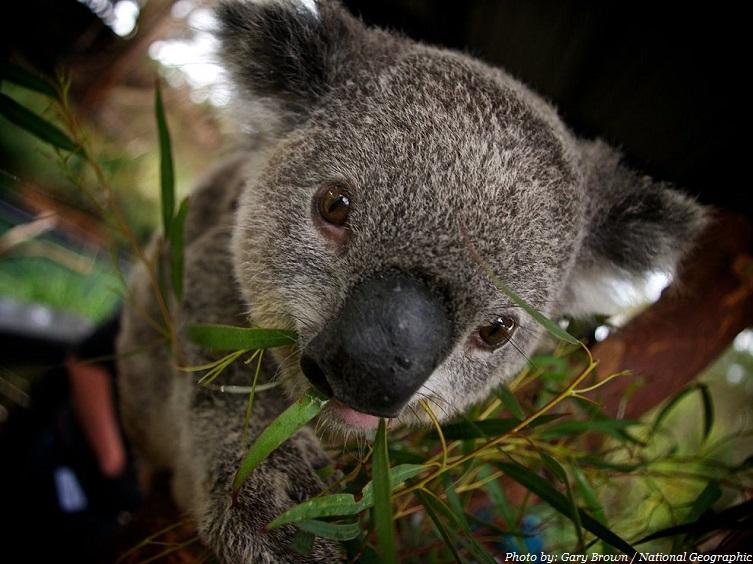 eucalyptus koala