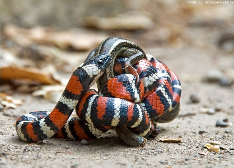 kingsnake eating lizard