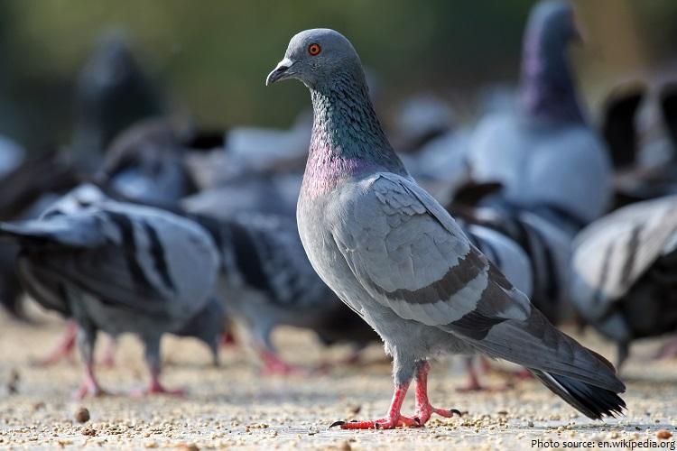 pigeons-4