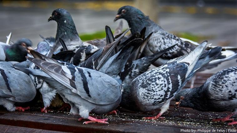 pigeons-5