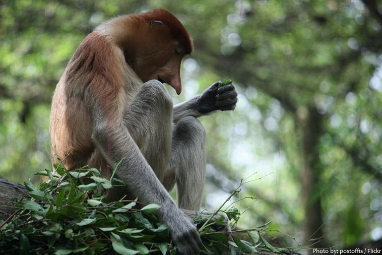 proboscis-monkey-2