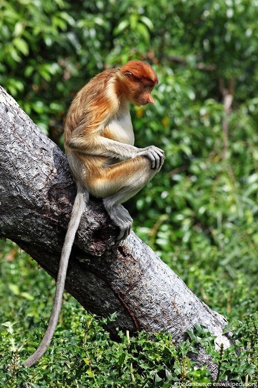 proboscis-monkey-3