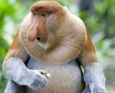 proboscis-monkey-4