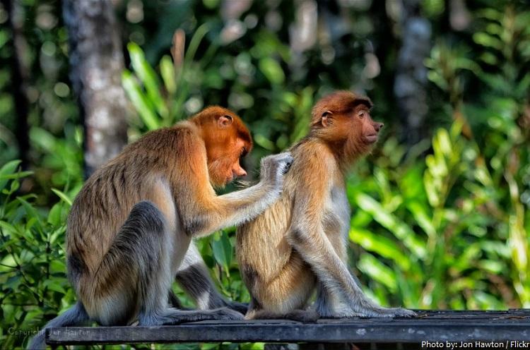 proboscis monkey grooming