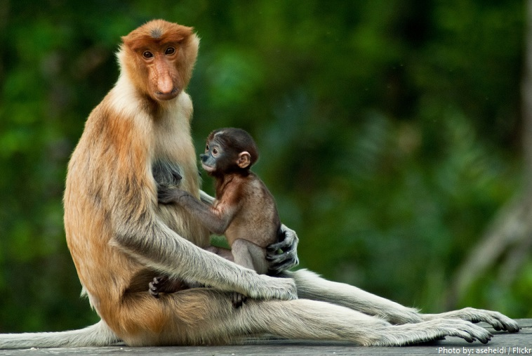 proboscis monkey mother and baby