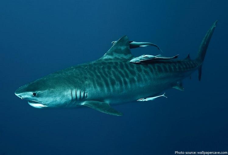 tiger-shark-4