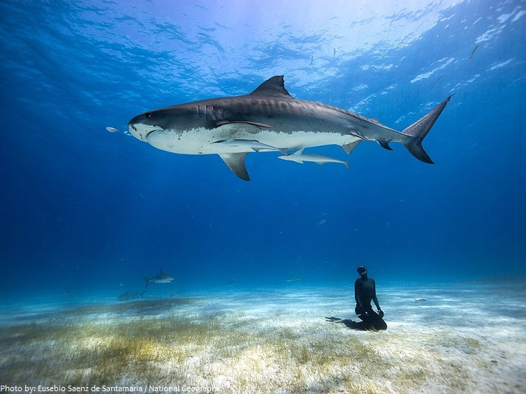 Interesting Facts About Tiger Sharks Just Fun Facts