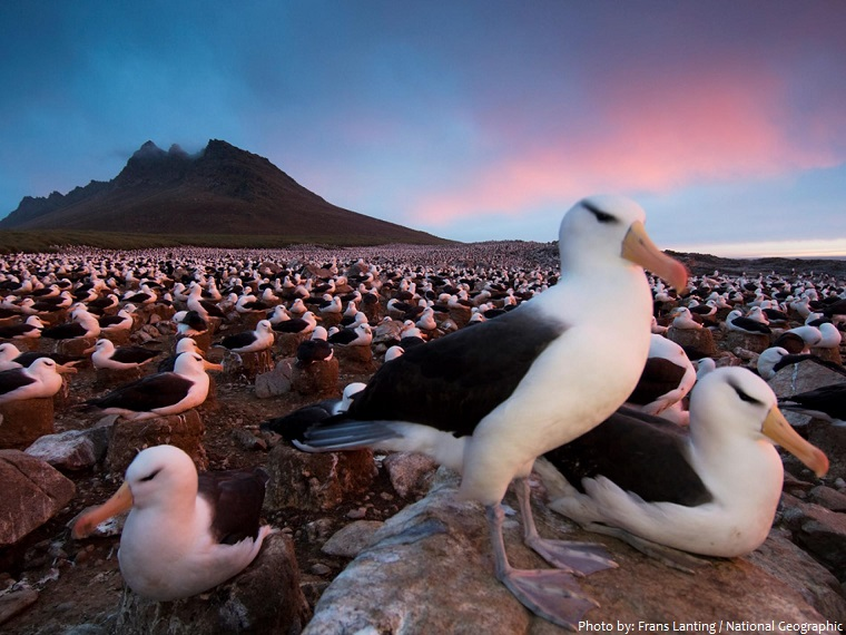 albatross colony