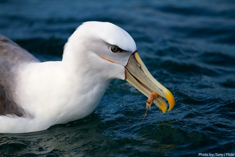 albatross eating